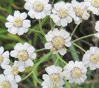 Sumpf-Schafgarben-Blüte